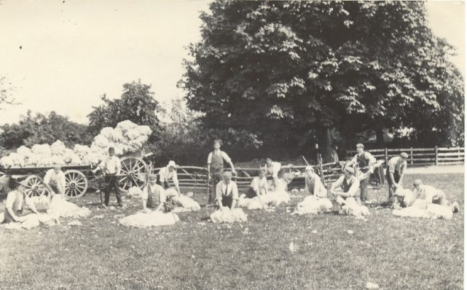 Sheep shearing in field with fleeces loaded onto cart