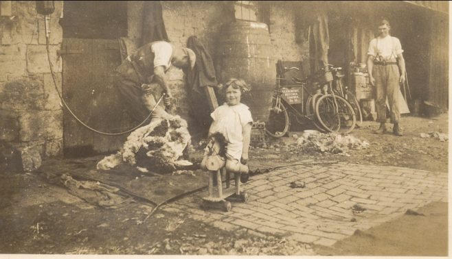 Shearing sheep with electric clippers, little girl with horse toy in foreground