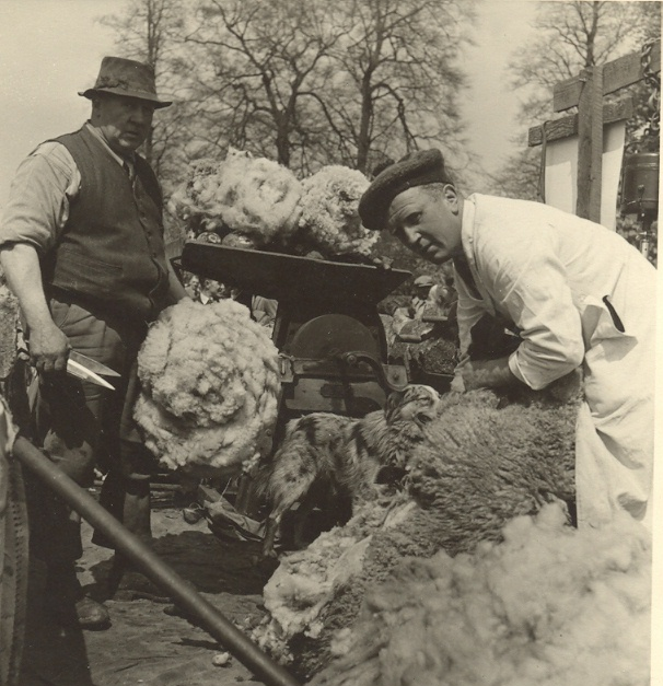 Fred Badger and Les Brodie shearing sheep using hand shears