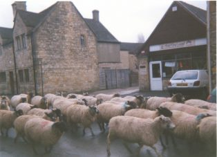 Sheep in Park Road c. 1970